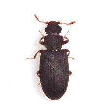 Enicmus brevicornis