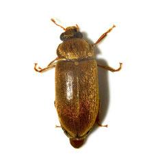 Byturus ochraceus