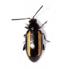 Phyllotreta vittula