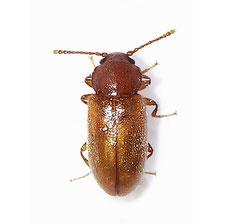 Cryptophilus propinquus