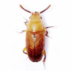 Antherophagus pallens