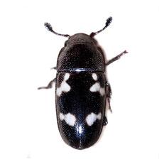 Glischrochilus quadriguttatus