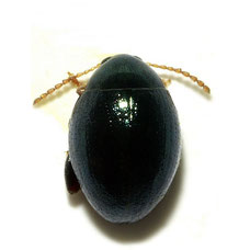 Apteropeda orbiculata