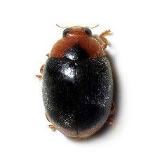 Scymnus (Pullus) ferrugatus