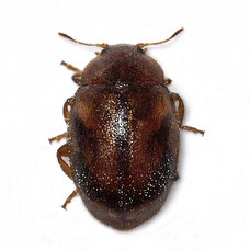 Rhyzobius chrysomeloides