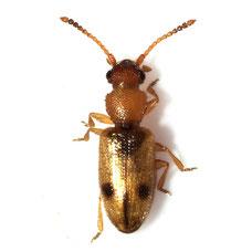 Psammoecus bipuncatatus