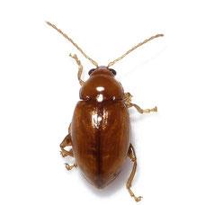 Neocrepidodera ferruginea