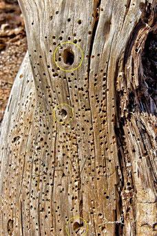 Von Käferfraßgängen förmlich zersiebtes Totholz. Auffällig sind die großen Löcher (gelbe Markierungen), wie sie beispielsweise von Bockkäfern verursacht werden