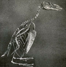 Great Auk skeleton, Richard Lydekker / CC via Wikimedia Commons