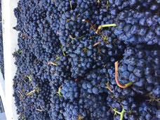 Oregon Pinot Noir cluster