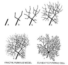 Selbstähnlichkeit bei einer Körperzelle