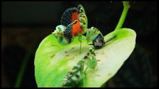 Acontista multicolor