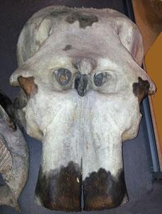 Elefantenschädel