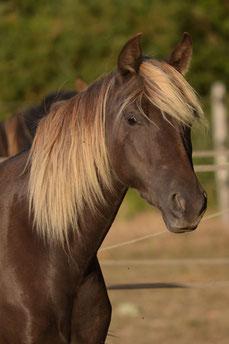 Rocky Mountain Horse chocolat ou silver black pregnant mare elegant beautifull color