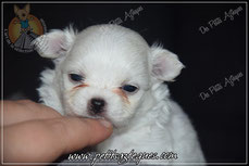 Chiot chihuahua a vendre poil long