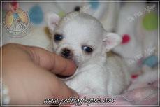 Chiot chihuahua à vendre miniature