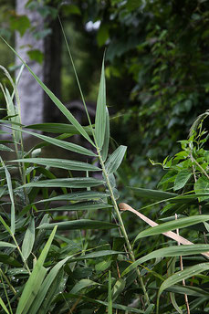 """Kataha no Ashi"" Reeds have leaves coming out of the stalks one side, not both sides"