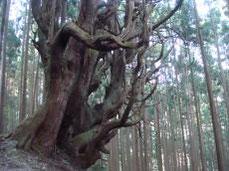 大杉の防風林