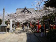 桜満開の本堂前
