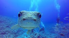 goatfish of Aquarium in Bora Bora