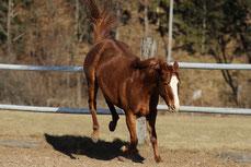 Ein Pferd schlägt nach hinten aus