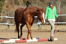 Ein Pferd geht ohne Zaumzeug über ein Hindernis