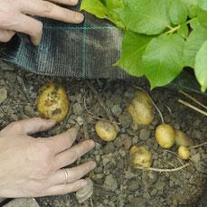 Kartoffeln unter Folie pflanzen