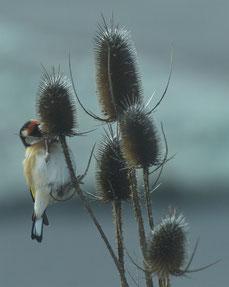 Distelfink, Karden-Samen fressend   © Karin Schneider