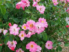 Rosa canina: proprietà curative