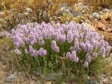 Thymus satureioides Maroc