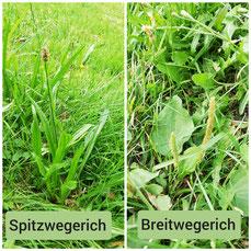 Spitzwegerich, Breitwegerich