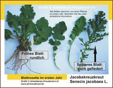 Senecio jacobaea (Jakobskreuzkraut) Grafik Blatt