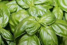 basilikum-pflanze