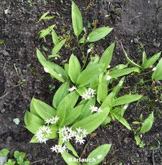 Bärlauch weiße Blüte Halbschatten