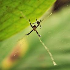 写真1.コガタコガネグモの隠れ帯