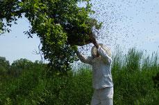 Bienenschwarm abfangen von einem Ast