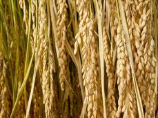 自然栽培(無農薬・無肥料)の天日干しのお米