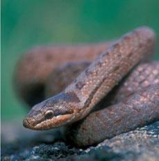 Gladde slang, vrij kleine, niet-giftige slang
