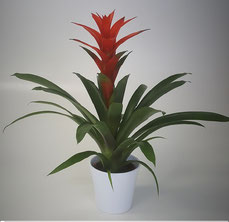 Guzmania Amoretto in witte keramiek pot
