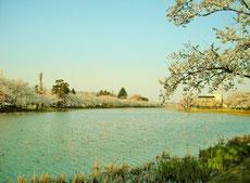 外堀を囲む様に埋め尽くす桜