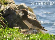 2016年巣立ち前の若鳥