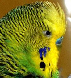 blaue Wachshaut eines erwachsenen Männchens (Farbschlag: normal grün)