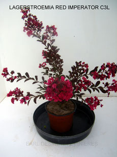 LAGERSTROEMIA , INDICA BORDEAUX,  RHAPSODY IN PINK, RED IMPERATOR, CATAWBA , DYNAMITE, INDIYA CHARMS®, ROSEA,