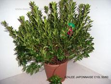 Azalee japonnaise