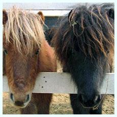 Baby-poney aude