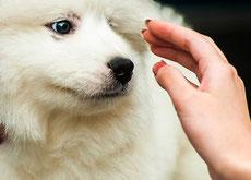 Pourquoi les chiens nous aiment t-ils ?