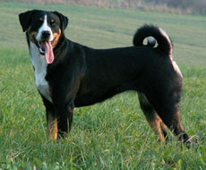 Wikipedia_DaKaM_Dara Essi, Appenzeller Sennenhund