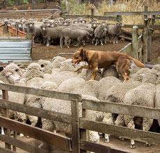 Wikipedia_Martin Pot_Australian Kelpie walking across the backs of sheep, The Shearing Shed, Yallingup, Western Australia
