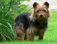Wikipedia_Ketterechts_Australian Terrier Melly, three years old