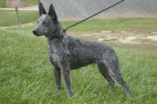 Wikipedia_Wendy Hodges_ A breed of dog known as the Australian Stumpy Tail Cattle Dog